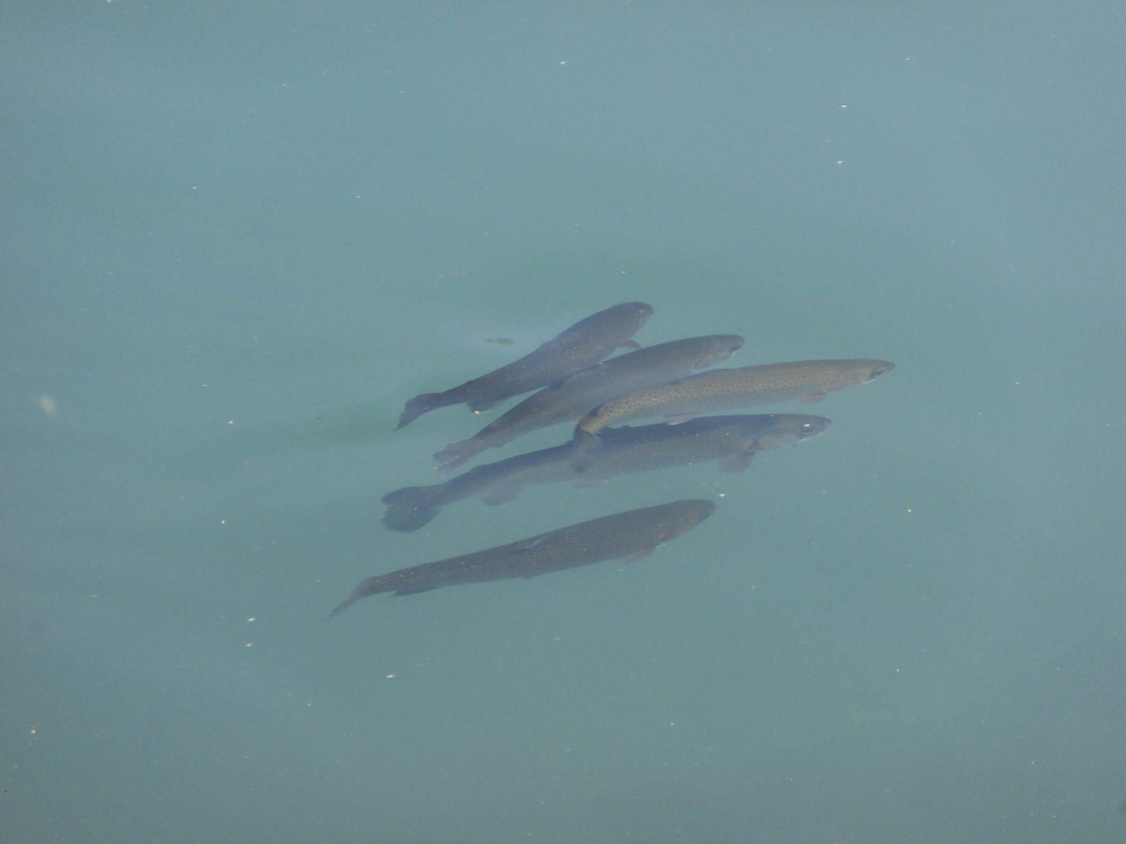 Société de pêche du Haut Giffre